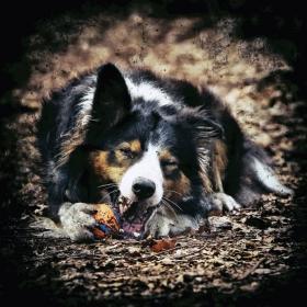 hond chayka (102)