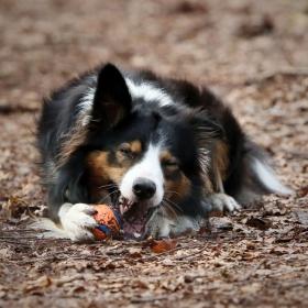 hond chayka (15)
